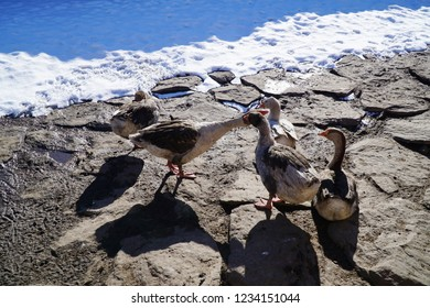 The local Kars goose variety, or Kars kazı, is raised in a geographical area starting from the Susuz district of Kars