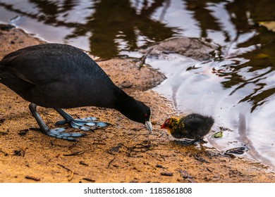 At the local lake the Eurasians Coots started their new family. This is a tete a tete from the female Coot to the nestling who was venturing too far from the nest.