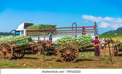 The local Myanmar workers unloading the cabbage crop from the ox cart and upload to the big truck to transport the produce to market in Shan state, Myanmar.