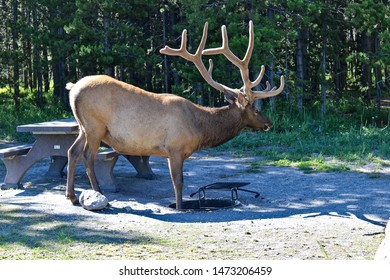 Local North American campsite elk standing in a fire pit