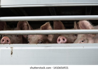 Local slaughterhouse in Spain, pig waiting to be killed