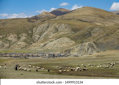 Local Tibetan women look after a large herd of sheep pasturing by the quiet rural town. A large herd of black and white sheep pasture in a large grassfield under a rocky mountain in the Himalayas.