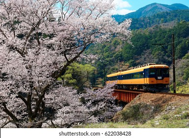 A local train traveling on a bridge by a flourishing cherry blossom ( Sakura ) tree near Kawane Sasamado Station of Oigawa Railway in Shimada, Shizuoka, Japan ~ Spring scenery of Japanese countryside