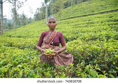 Local Woman Gathering Tea Leaves on Plantation, Sri Lanka - 22 January 2017