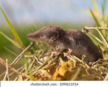 The Locally Endangered Bicolored Shrew (Crocidura leucodon) in it's Natural Habitat