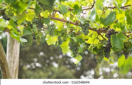 Locally grown grapes vineyard homegrown garden English england