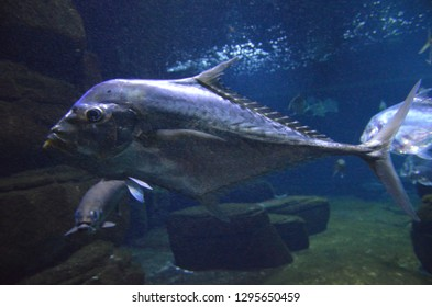 Lockdown fish Selene dorsalis Atlantic, aquarium Berlin Germany