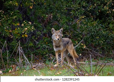 Locked eyes for a split second with this hunting Coyote. The coyote was hunting little gophers in the field