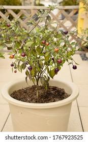 Loco chilli peppers (capsicum annuum)