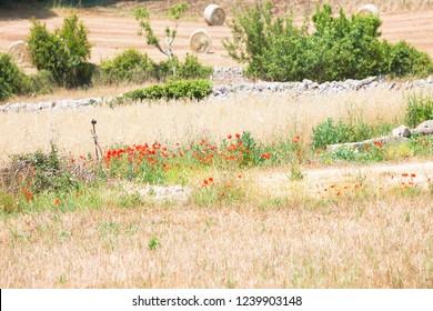 Locorotondo, Apulia, Italy - Field with hay and red poppy