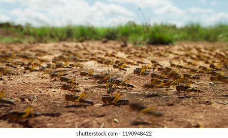 An locust army is on the march attracted by the smell of newly sprouting grass in Madagacar.