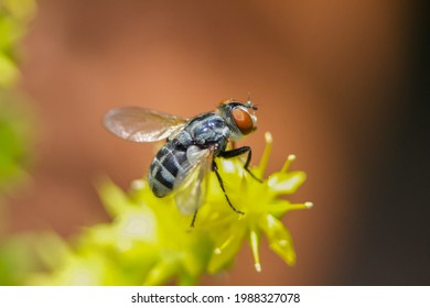 Locust Blowfly on Yellow Flower on a Sunny Summer Day