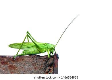 Locust close up. Great Green Locust