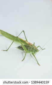 Locust or grasshopper on a white table close-up on a blurred background. live green harmful insect in macro. katydid. copy space. vertical.