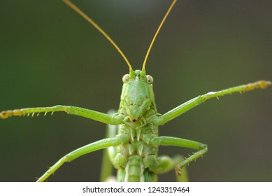 Locust. Green Locust. Adult locust close up