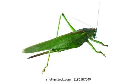Locust green. Grasshopper. Isolator.