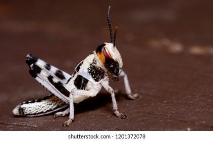 Locust macro close up