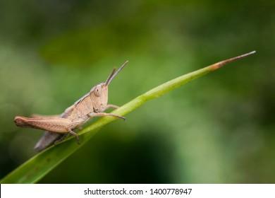 locust on a blade of grass