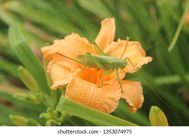Locust on the daylily flower
