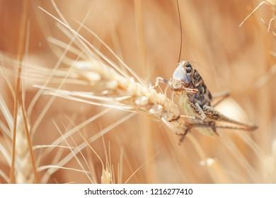 Locust on Wheat grain. Crop damage to whole grain harvest.