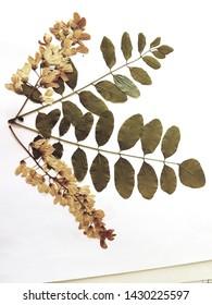 Locust plant example in a herbarium collection