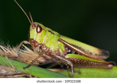 locust  resting on grass