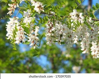 Locust tree blossom - Robinia pseudoacacia