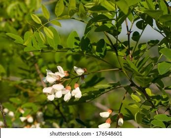 Locust tree blossom (Robinia pseudoacacia)