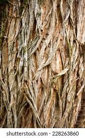 Locust tree (Robinia pseudoacacia) - tree bark details and texture in the arboretum