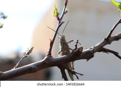 Locusts above the tree branches
