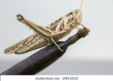Locusts destroying horticulture farms feeding damage farmers