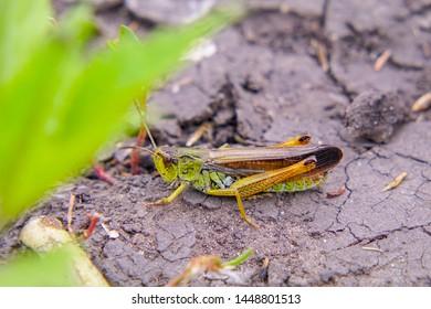 Locusts on the ground. Macro, close-up. Locust invasion. Selective focus