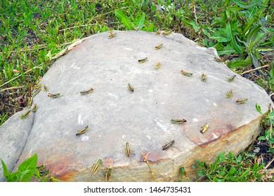Locusts on a large stone. Locust invasion. Selective focus