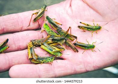 A lot of locusts on a man's palm. Locust invasion
