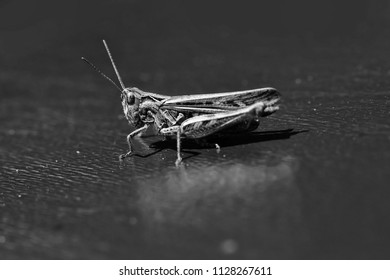 Locusts. One beautiful natural sitting grasshopper locust insect wildlife beauty of nature side view closeup on dark background, horizontal picture
