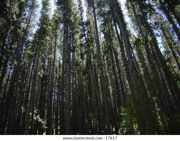 Lodgepole pine forest in Vail colorado