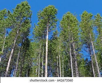 Lodgepole Pine Trees