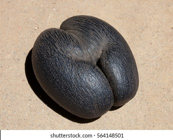 Lodoicea coconut seed