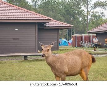 Loei/Thailand-16 Feb 2019:Cute Deer on Phu Kradueng mountain national park in Loei City Thailand.Phu Kradueng mountain national park the famous Travel destination