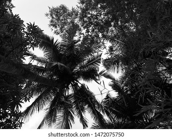 Lofty coconut trees nustle each other as they sway in the gentle breeze of a hot summer day under the tropical sky in Ribandar, Goa, India.