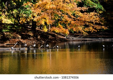 Log, on Poplar Tree Lake, serves as resting place for a flock of Canadian Geese in Meeman Shelby Forest State Park outside of Memphis, Tennessee.  Lake reflects yellow and golden leaves of Autumn.