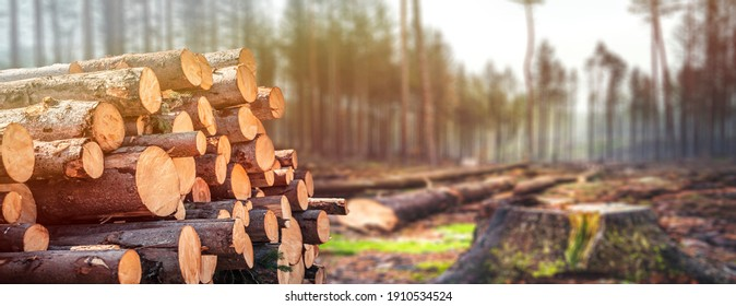 Log spruce trunks pile. Sawn trees from the forest. Logging timber wood industry. Cut trees along a road prepared for removal. Panorama