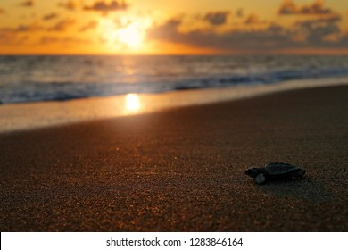 Loggerhead Sea Turtle, Caretta caretta, evening birth on the sand beach, Corcovado NP, Costa Rica. First minute of live, small turtles running to the sea water. Young tortoise born in wild, sunset.