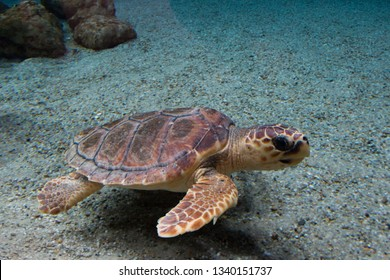 Loggerhead sea turtle (Caretta caretta), also known as the loggerhead. Wild life animal