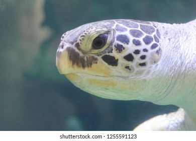 The loggerhead sea turtle (Caretta caretta), or loggerhead, is an oceanic turtle distributed throughout the world. It is a marine reptile, belonging to the family Cheloniidae.