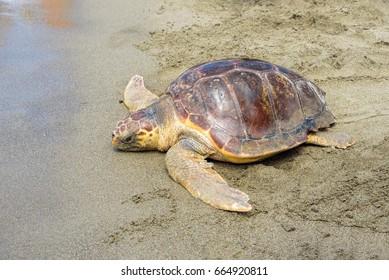 Loggerhead Sea Turtle (Caretta caretta) released back into the wild