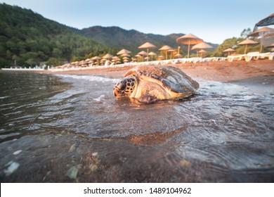 Loggerhead Sea Turtle (Caretta caretta), returns to the sea after laying eggs in the sand on the beach at sunrise. Close-up photo. Adrasan - Antalya
