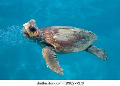 Loggerhead sea turtle (Caretta caretta) swimming, Zakynthos island, Greece. CPL filter was used. Motion blur.