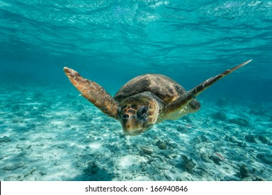 Loggerhead sea turtle Caretta caretta, swimming toward photographer through clear turquoise tropical water