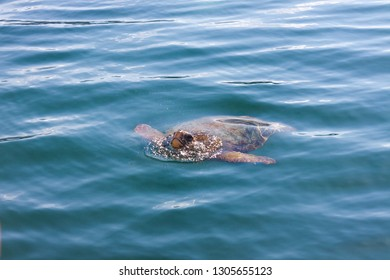 Loggerhead sea turtle in the sea of Cephalonia (Kefalonia) island, Greece